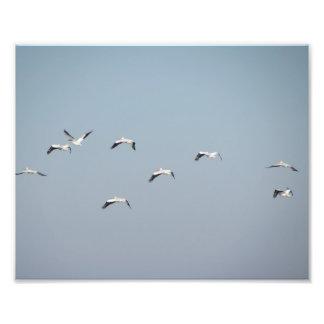 Foto Pelicanos em vôo