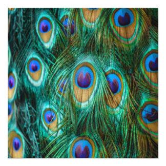 Foto Penas do pavão do verde azul