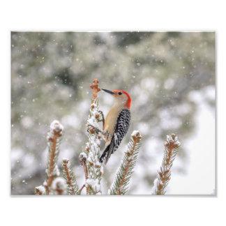 Foto pica-pau Vermelho-inchado 10x8 na neve
