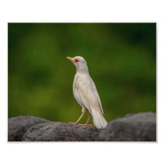 Foto pisco de peito vermelho do albino 10x8 no ponto da