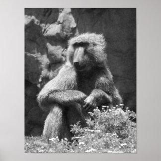 Foto preto e branco do babuíno pôster