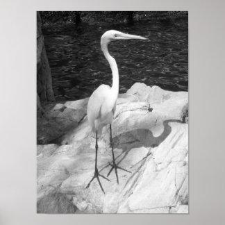 Foto preto e branco do Egret Poster