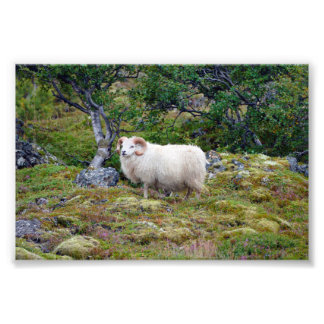 Foto Ram islandêsa