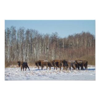 Foto Rebanho do bisonte