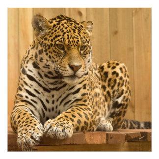 Foto Retrato impressionante do jaguar