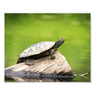 Foto tartaruga pintada 10x8 em um registro