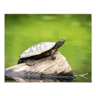 Foto tartaruga pintada 14x11 em um registro