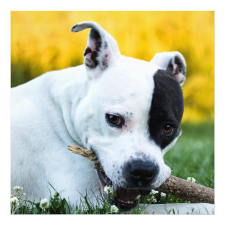 Foto Terrier de Staffordshire americano