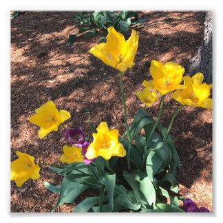 Foto Tipo amarelo flores da tulipa do primavera
