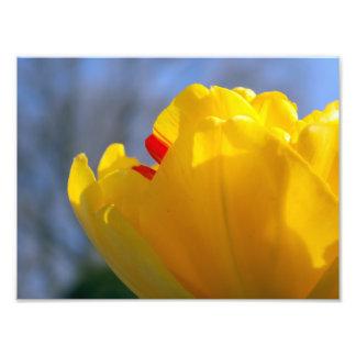 Foto Tulipa amarela