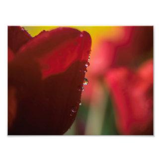 Foto Tulipa com gota da água