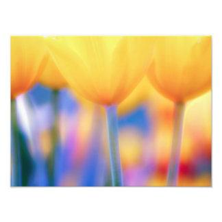 Foto Tulipas amarelas com azul
