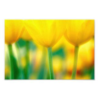 Foto Tulipas amarelas com verde