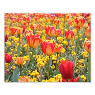 Foto Tulipas, amarelo brilhante e colorido e vermelho