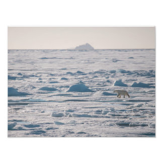 Foto Urso polar no som de Lancaster (Tallurutiup