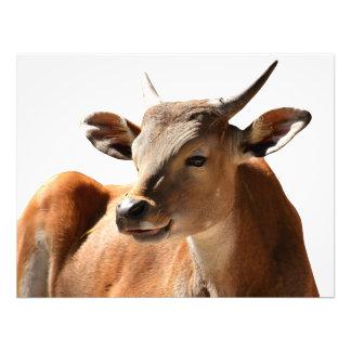 Foto Vaca de Banteng