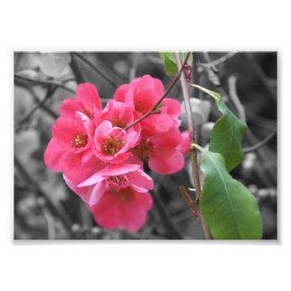 """Fotografia cor-de-rosa 5"""" das flores x 7"""""""
