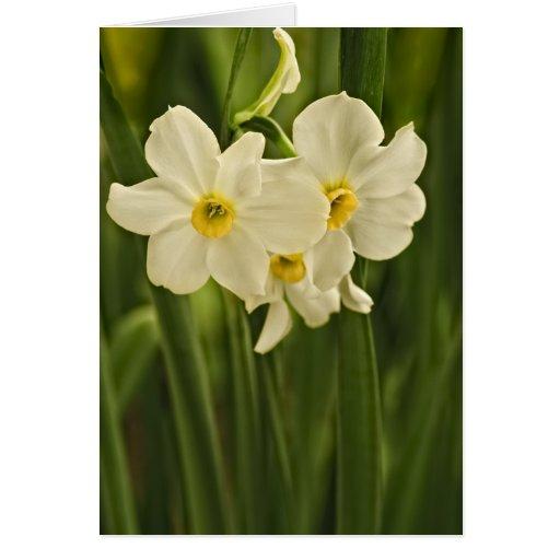 Fotografia da flor do narciso do primavera (Daffod Cartões