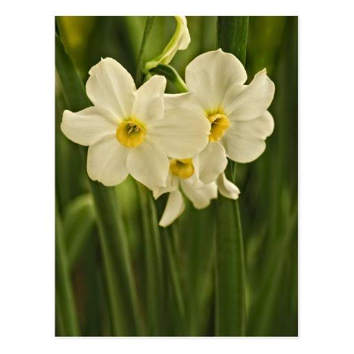 Fotografia da flor do narciso do primavera (Daffod Cartoes Postais