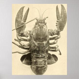 Fotografia da lagosta de Maine do vintage (1895) 2 Pôster