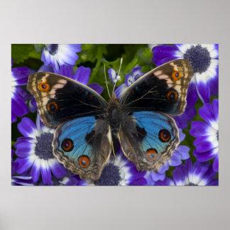 Fotografia de Sammamish Washington da borboleta 8 Pôsteres