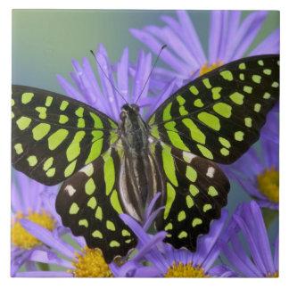 Fotografia de Sammamish Washington da borboleta em Azulejo
