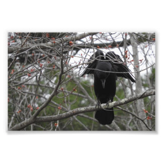 Fotografia do corvo do anjo