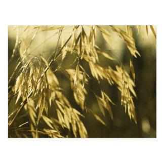 Fotografia dourada das belas artes de Wheatgrass Cartão Postal