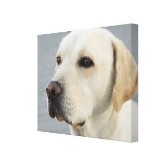 Fotografia dourada de labrador retriever impressão de canvas envolvida
