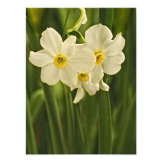 Fotografia floral:  Narciso branco do primavera