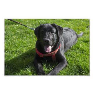 Fotografia impressa bonita de um Labrador preto