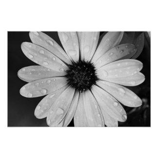 Fotografia preto e branco da margarida africana poster