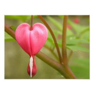 Fotografia vermelha do coração de sangramento