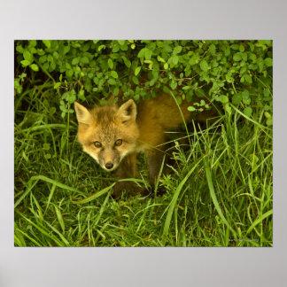 Fox vermelho novo que sai de esconder nos arbustos pôster