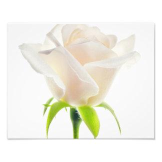 Fundo branco do espaço livre da flor da tulipa impressão fotográfica