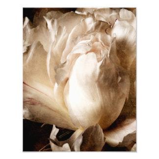 Fundo branco do preto do Sepia da flor da peônia Impressão De Foto