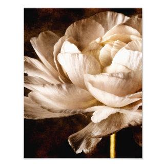 Fundo branco do preto do Sepia da flor do Impressão De Foto