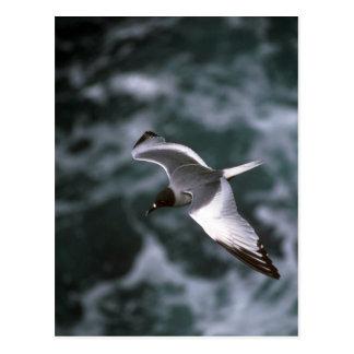 Gaivota Andorinha-Atada em vôo Cartão Postal