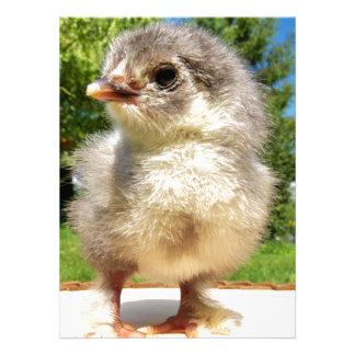 galinha pequena macia