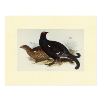 Galo silvestre preto cartão postal