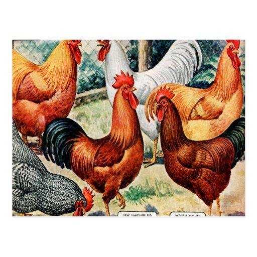 Galos das galinhas do vintage para o anúncio do ca cartão postal