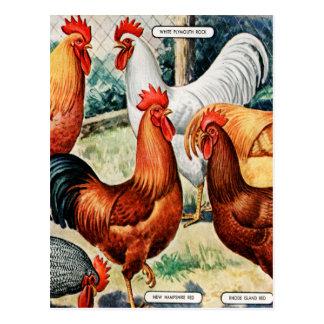 Galos das galinhas do vintage para o anúncio do cartão postal