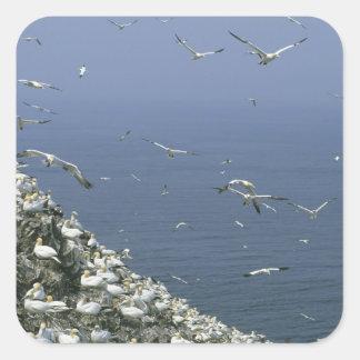 Gannet do norte bassanus do Sula colônia enorm Adesivos