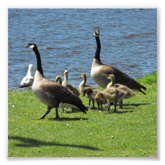 Gansos de Canadá na grama pela água Foto