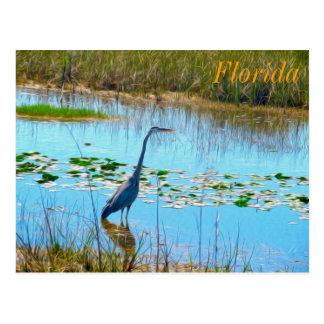 Garça-real azul cartão nos Glades - Florida