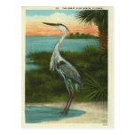 Garça-real azul Florida do vintage Cartoes Postais