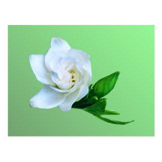 Gardenia Cartão Postal