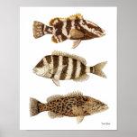 Garoupa de Nassau dos gamefish, Sheepshead & garou Impressão