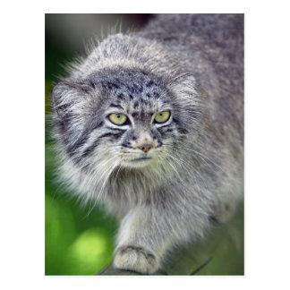 Gato de Pallas, Wildcat, cartão selvagem da foto