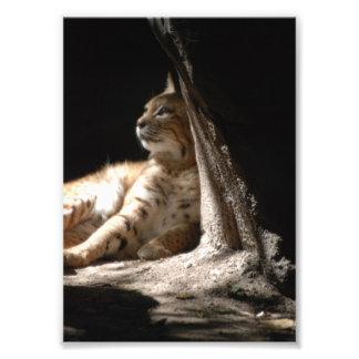Gato, jardim zoológico de Texas Tyler, 2008, gato  Impressão De Foto